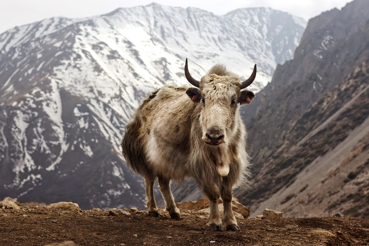 The Care and Feeding of Yaks